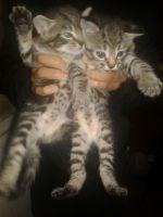Tabby Cats for sale in Philadelphia, PA, USA. price: NA