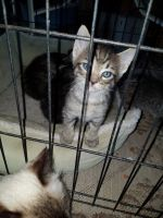 Tabby Cats for sale in Sulphur, LA, USA. price: NA