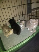 Tabby Cats for sale in Mt Vernon, WA, USA. price: NA