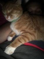 Tabby Cats for sale in Dunedin, FL, USA. price: NA
