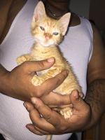 Tabby Cats for sale in Bronx, NY, USA. price: NA