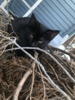 Tabby Cats for sale in Georgetown, OH 45121, USA. price: NA