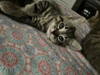 Tabby Cats for sale in Hesperia, CA, USA. price: NA