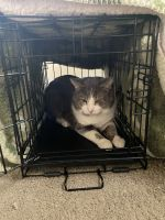 Tabby Cats for sale in Lincoln Park, MI 48146, USA. price: NA