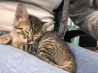 Tabby Cats for sale in Mesquite, TX, USA. price: NA