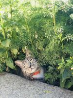 Tabby Cats for sale in Manteca, CA, USA. price: NA