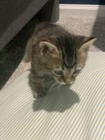 Tabby Cats for sale in Vienna, VA 22180, USA. price: NA