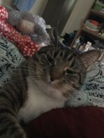 Tabby Cats for sale in Monroe, NC, USA. price: NA