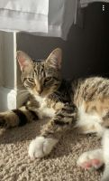 Tabby Cats for sale in Raleigh, NC, USA. price: NA