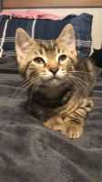 Tabby Cats for sale in Dillsburg, PA 17019, USA. price: NA