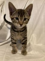 Tabby Cats for sale in Delano, MN 55328, USA. price: NA