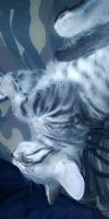 Tabby Cats for sale in Everett, WA, USA. price: NA