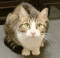 Tabby Cats for sale in Jacksonville, FL, USA. price: NA