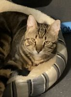 Tabby Cats for sale in Jamaica, Queens, NY, USA. price: NA