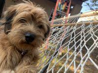 Tahltan Bear Dog Puppies Photos