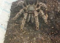 Tarantula Animals for sale in Mims, FL, USA. price: NA