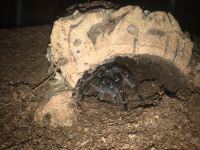 Tarantula Animals for sale in 434 Quaker Church Rd, Siloam, NC 27047, USA. price: NA
