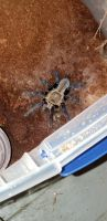 Tarantula Animals for sale in Muskegon Heights, MI 49444, USA. price: NA