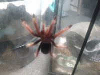Tarantula Animals for sale in 1809 20th St, Parkersburg, WV 26101, USA. price: NA
