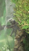 Tarantula Animals for sale in 2150 E Bell Rd, Phoenix, AZ 85022, USA. price: NA