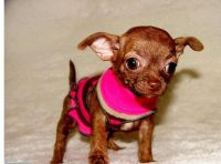 Tea Cup Chihuahua Puppies for sale in Colorado Springs, CO, USA. price: NA