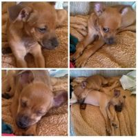 Tea Cup Chihuahua Puppies for sale in Norwalk, CA, USA. price: NA