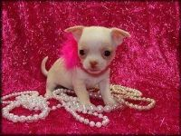 Tea Cup Chihuahua Puppies for sale in Kenosha, WI, USA. price: NA