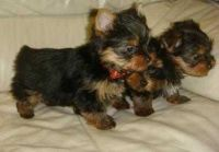 Tea Cup Chihuahua Puppies for sale in Huntsville, AL, USA. price: NA