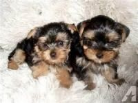 Tea Cup Chihuahua Puppies for sale in Bessemer, AL, USA. price: NA