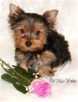 Tea Cup Chihuahua Puppies for sale in Modesto, CA, USA. price: NA