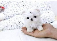 Tea Cup Chihuahua Puppies for sale in Los Angeles, CA, USA. price: NA