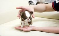 Tea Cup Chihuahua Puppies for sale in South Bend, IN, USA. price: NA