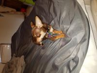 Tea Cup Chihuahua Puppies for sale in Anchorage, AK, USA. price: NA
