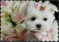 Tea Cup Chihuahua Puppies for sale in Fort Lauderdale, FL, USA. price: NA