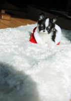 Tea Cup Chihuahua Puppies for sale in Atlanta, GA, USA. price: NA