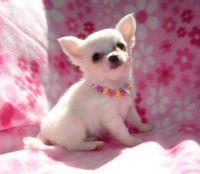 Tea Cup Chihuahua Puppies for sale in Mechanicsburg, PA, USA. price: NA