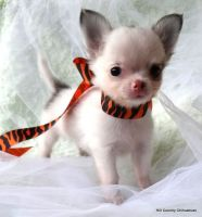 Tea Cup Chihuahua Puppies for sale in Fremont Blvd, Fremont, CA, USA. price: NA