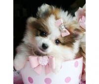 Tea Cup Chihuahua Puppies for sale in New York, NY, USA. price: NA