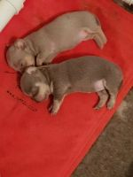 Tea Cup Chihuahua Puppies for sale in Venus, FL 33960, USA. price: NA