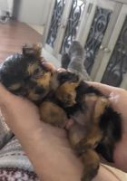 Tea Cup Chihuahua Puppies for sale in Ohio City, Cleveland, OH, USA. price: NA