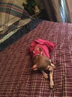 Tea Cup Chihuahua Puppies for sale in Sunland Park, NM 88063, USA. price: NA