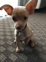 Tea Cup Chihuahua Puppies for sale in St. George, UT 84770, USA. price: NA