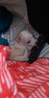 Tea Cup Chihuahua Puppies for sale in 1019 Patricia Dr, Nashville, TN 37217, USA. price: NA