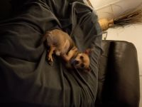Tea Cup Chihuahua Puppies for sale in Evansville, IN, USA. price: NA