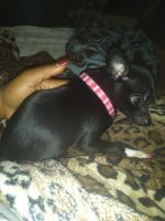 Tea Cup Chihuahua Puppies for sale in Brooklyn, NY, USA. price: NA