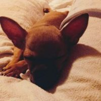 Tea Cup Chihuahua Puppies for sale in Vineland, NJ 08360, USA. price: NA