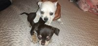 Tea Cup Chihuahua Puppies for sale in Stanton, CA, USA. price: NA
