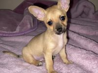 Tea Cup Chihuahua Puppies Photos