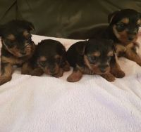 Tea Cup Chihuahua Puppies for sale in Ohio City, OH 45874, USA. price: NA