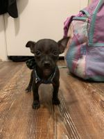 Tea Cup Chihuahua Puppies for sale in Houston, TX 77073, USA. price: NA